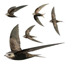 Common Swift 3d model Download  Buy 3dbrute