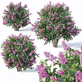 Lilac  Syringa vulgaris 4  Three sizes LT 3d model Download  Buy 3dbrute