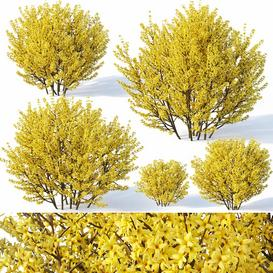 Forsythia 1 full bloom LT 3d model Download  Buy 3dbrute