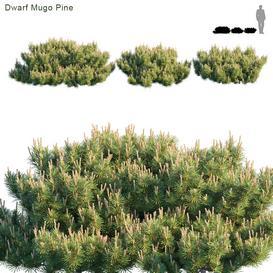 Dwarf Mugo Pine Creeping pine LT 3d model Download  Buy 3dbrute