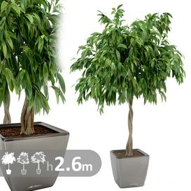 Ficus 3d model Download  Buy 3dbrute