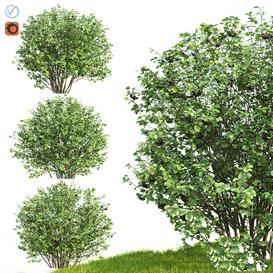 Rowan Aronia Aronia LT 3d model Download  Buy 3dbrute