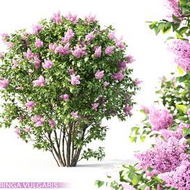 Lilac blooming 3d model Download  Buy 3dbrute