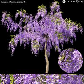 Fabaceae   Wisteria sinensis  1 LT 3d model Download  Buy 3dbrute