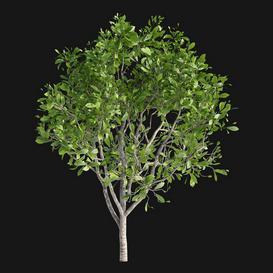 Magnolia x soulangeana 3d model Download  Buy 3dbrute