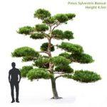 Pine Bonsai 4 5
