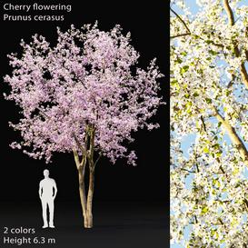 Prunus cerasus 3d model Download  Buy 3dbrute