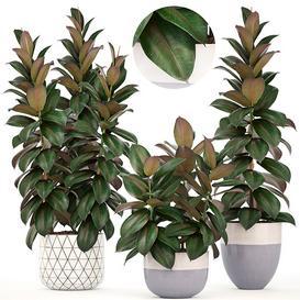 Collection of plants 204  Ficus elastica 3d model Download  Buy 3dbrute