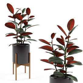 Ficus elastica Black Prince 3d model Download  Buy 3dbrute