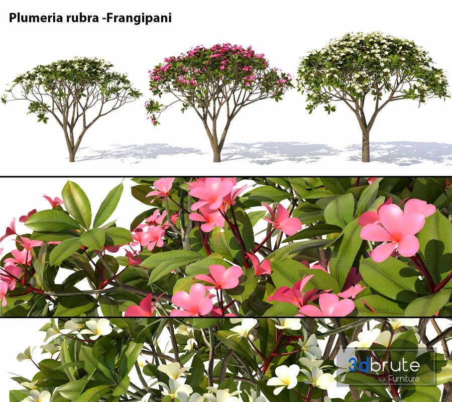 Plumeria rubra -Frangipani Tree