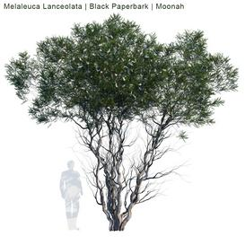 Melaleuca Lanceolata  Black Paperbark  Moonah  1 3d model Download  Buy 3dbrute