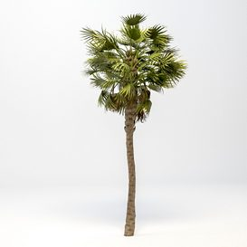 Washingtonia Robusta Palm 3D Model 3D model 3d model Download  Buy 3dbrute