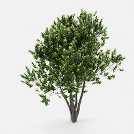 Laurus Nobilis   Bay tree   Grecian Laurel tree LT 3d model Download  Buy 3dbrute