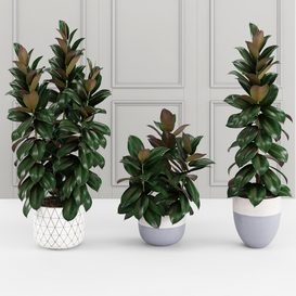 Collection of plants 204. Ficus elastica 3d model Download  Buy 3dbrute